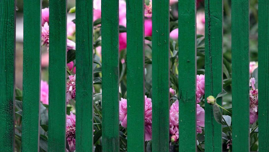 Цветы за забором.