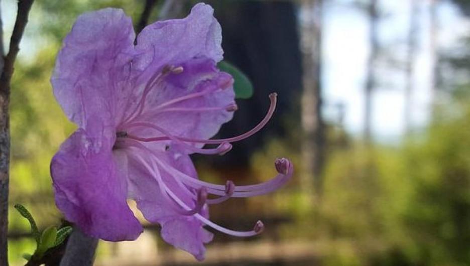 На Алтае летом расцвел маральник.