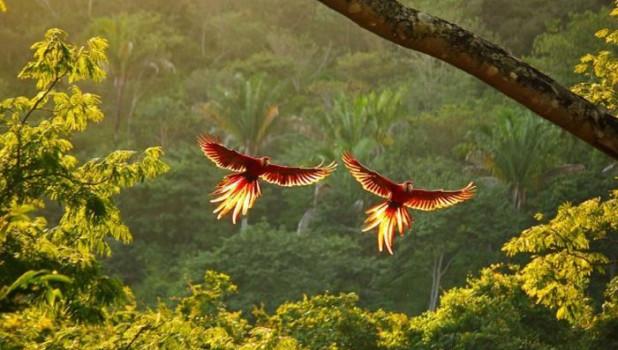 Красные попугаи ара в Коста-Рике