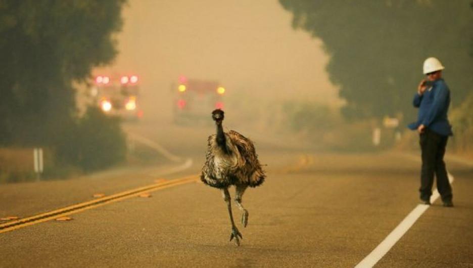 Птица эму покидает территорию, охваченную пожаром в Калифорнии