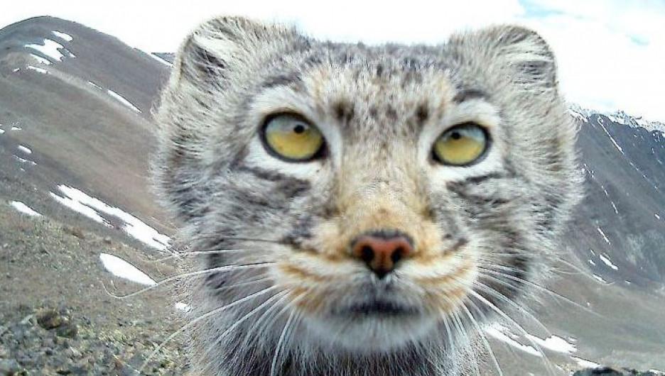 Манул в Алтайском биосферном заповеднике.