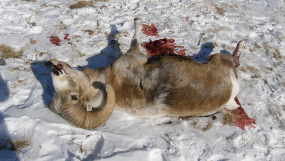Убитый архар.