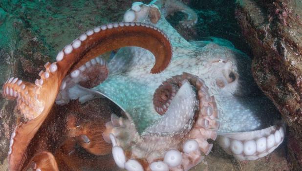 Осьминог в новосибирском океанариуме.