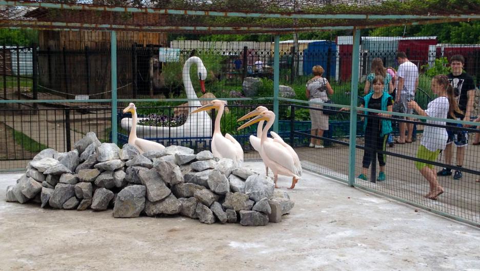 Пеликаны в Барнаульском зоопарке.