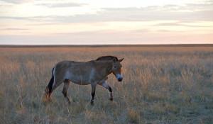 Лошадь Пржевальского в Оренбургском заповеднике.
