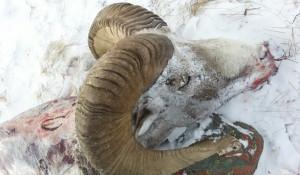 В Кош-Агачском районе браконьеры убили архара.
