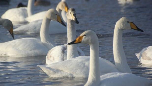 Лебеди-кликуны.