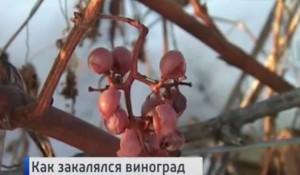 Алтайский виноград засыпало снегом.