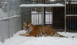 Тигр Шерхан.