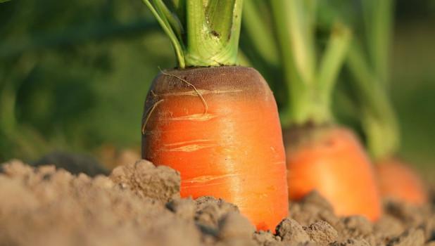 Огород, морковь.