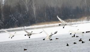 Птицы на озере Лебедином (Светлом).