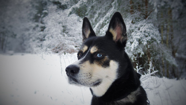 Собака в снегу. Зима.