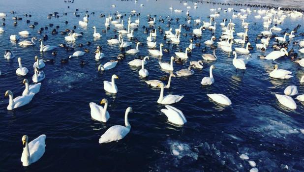 Лебеди в Лебедином заказнике.