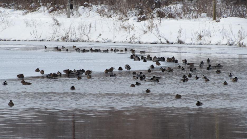 Кряквы на реке Кокша.