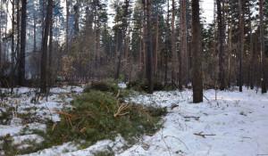 Вырубки бора у поселка Пригородный