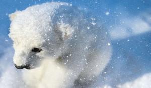 Белый медведь в снегу. Зима.