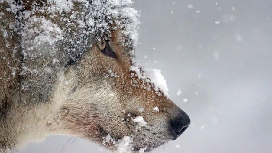 Волк в снегу зимой.