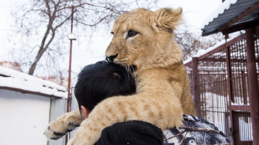 Львица Ая в барнаульском зоопарке.