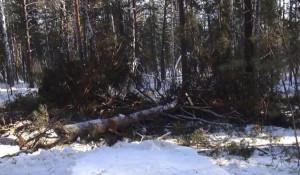 Черные лесорубы спилили сосны в Озерском лесничестве.