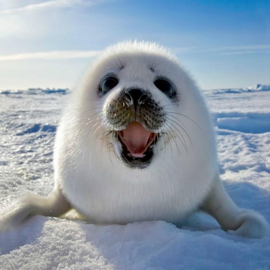 Тюлень-белёк.