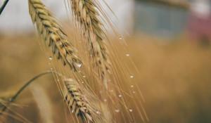 Зерновые, урожай.