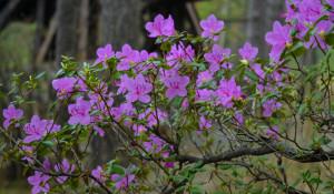Праздник цветения маральника 2017
