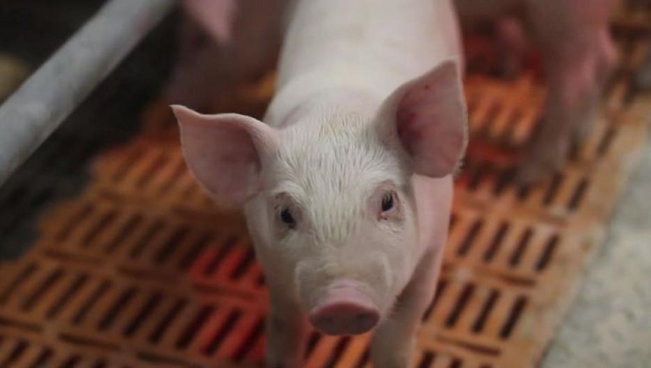 """""""Барнаульский пищевик"""" восстанавливает свинокомплекс в Ребрихинском районе."""