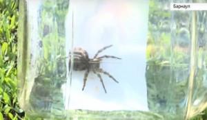 В Алтайском крае появились тарантулы.