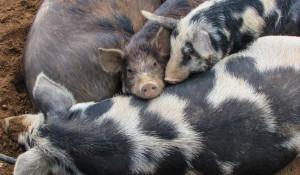 Свиньи. Животноводство.
