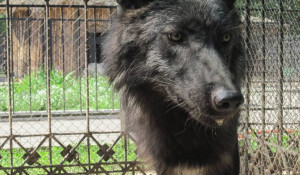 Волк Блэк.