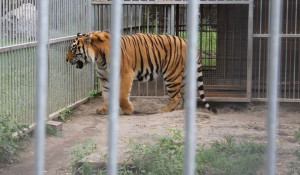 В Барнауле праздновали день амурского тигра.