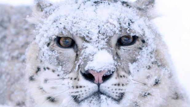 "На Алтае создадут ""паспорта"" снежным барсам."