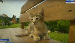 В Барнауле у кошки, купленной за 1 млн рублей, родились котята.