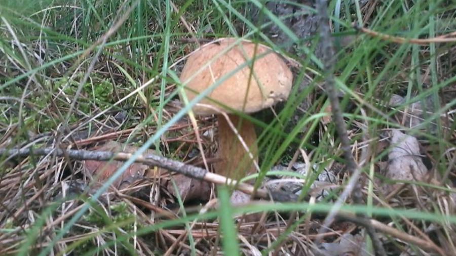 Несъедобный двойник белого гриба - желчный гриб.