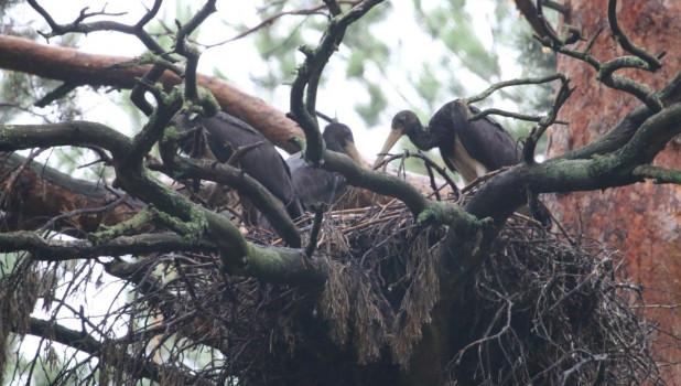Гнездо черных аистов.
