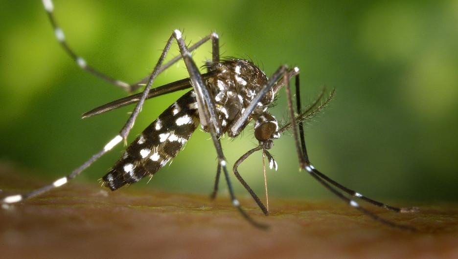 Тигровый комар.