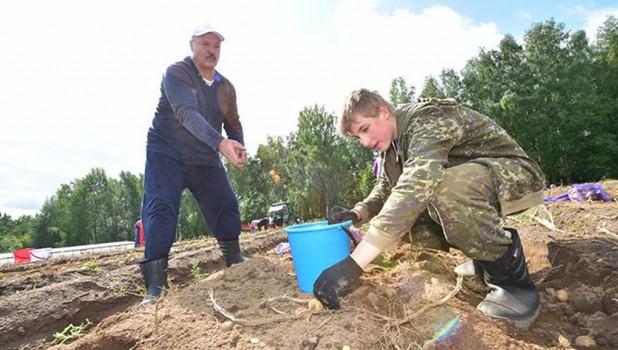Лукашенко убирает картофель.