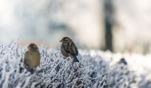 Иней. Птицы мерзнут зимой.