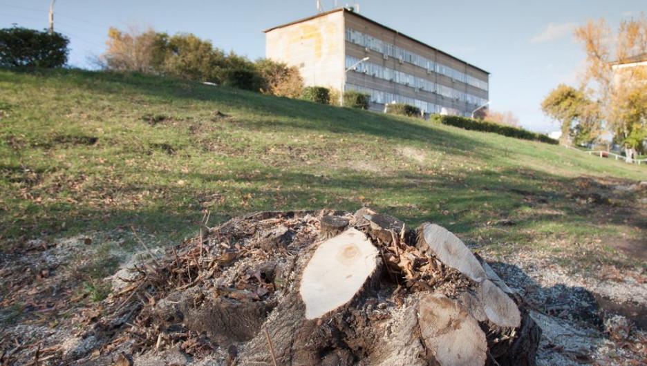 Около АлтГТУ начали вырубать деревья.