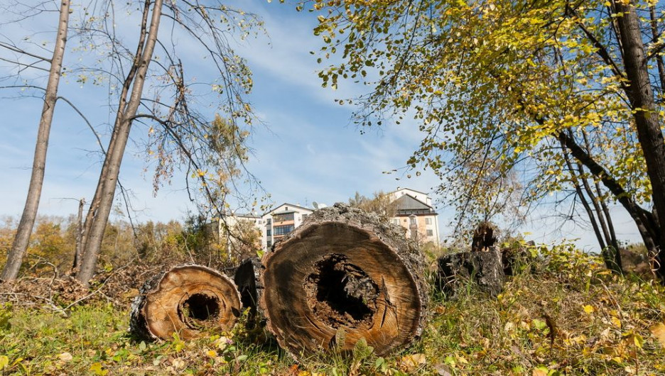"""Часть деревьев в парке """"Изумрудный"""" действительно сгнила."""