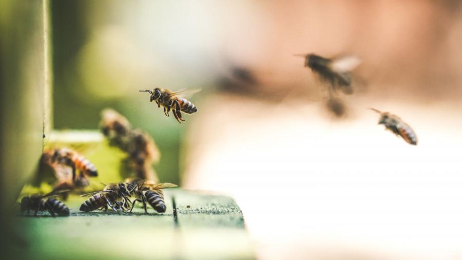 Пчелы.