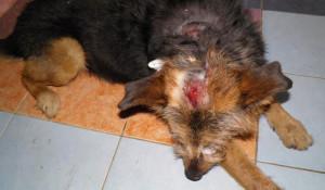Избитая собака.
