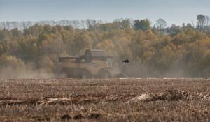 В Алтайском крае продолжается уборка гречихи