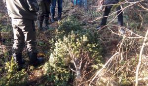 В Залесовском районе задержали заготовителя новогодних ёлочек.