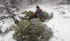 В Алтайском крае мужчины срубили 38 елок.