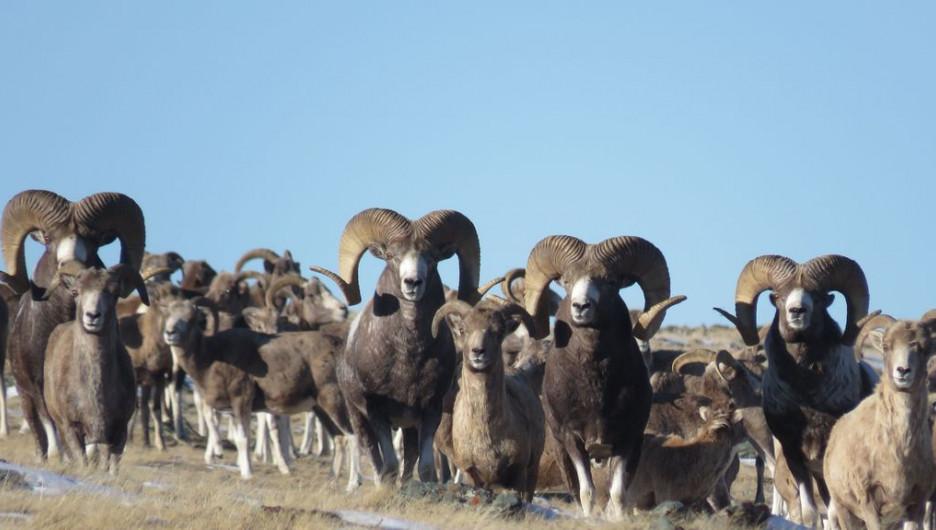 На Алтае ученые вблизи сфотографировали крупнейшее стадо редких горных баранов.