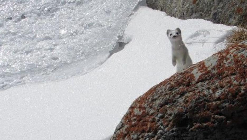 В Сайлюгемском национальном парке сфотографировали любопытного горностая.