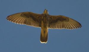 Самка сокола-балобана Учсын в полёте.