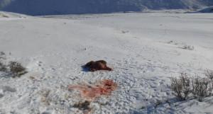 В Кош-Агачском районе браконьеры убили самку аргали с ягнятами.