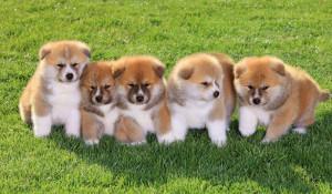 Щенки породы акита. Фото: http://dogcatfan.com